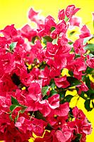 Studio Shot of Bougainvillea Flowers Differential Focus