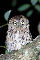 Tropical Screech-owl (Megascops choliba)