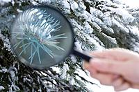 A person holding a magnifying glass next to a fir tree