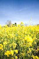 Oilseed rape plants in a field