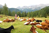 Austria, Salzburger Land, couple with son passing cattle herd