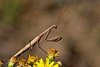 Praying Mantis Mantis religiosa, close_up