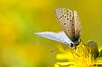 Common blue butterfly Polyommatus icarus resting on flower