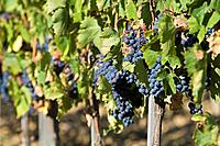 Italy, Tuscany, Bunches of Grapes in Vineyard (thumbnail)