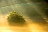 Italy, Tuscany, Tree in morning mist