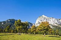 Austria, Tirol, Karwendel, Field maple trees