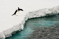 A Adelie Penguins Pygoscelis adelaie jumping in to the ice, Antarctica