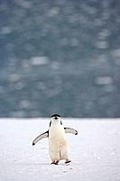 Chinstrap penguin Pygoscelis antarctica in a colony on Half Moon Island, Antarctica