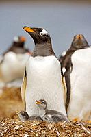Gentoo Penguin Pygoscelis papua papua with chick on nest at colony, Falkland Islands, South Atlantic Ocean