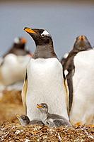 Gentoo Penguin Pygoscelis papua papua with chick on nest at colony, Falkland Islands, South Atlantic Ocean