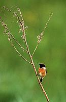 Stonechat (Saxicola torquata) male perched. Lorraine, France