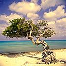 Pine tree on beach