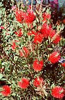 Callistemon _ Bottlebrush