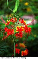 New Caledonia _ Flowers of Blazing