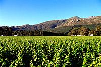 South Africa _ The Cape Vineyard _ Wine Route _ Franschoek