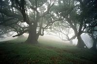 Eastern Atlantic. Madeira islands. Laurel forest (Laurus azorica)