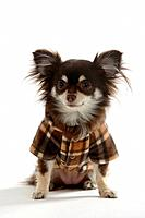 Chihuahua, longhaired, coat