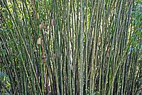 Bamboo, Rainforest, Khao Sok National park, Thailand, Asia