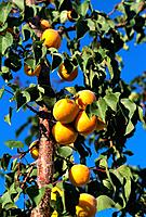 Turkey _ Cappadoce _ Apricot Tree
