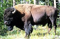 USA _ National Park _ Yellowstone _ Bison