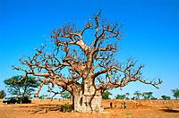 Senegal _ Centre_Ouest _ Region Darou Mouti _ Baobab