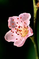 Prunus persica _ pale pink _ tender _ spring _ hope _ beauty _ attraction