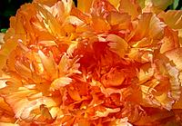 Paeonia _ amber _ sunny _ sophisticated enticement _ the charm of feminine ruffles