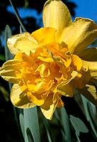 Narcissus _ yellow _ double _ decorative