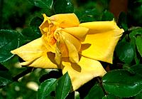 Rosa _ yellow _ mysterious _ seductive _ bewitching
