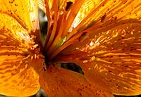 Lilium _ yellow_orange _ bewitching