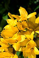 Forsythia intermedia _ a profusion of bright yellow flowers signal of ending winter