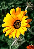 Gazania _ bright yellow corolla with a centered ring of black and amber