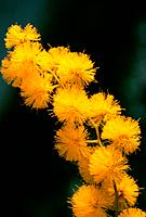 Acacia dealbata _ golden yellow _ cheerful _ soft sunny coton balls