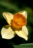 Narcissus _ enlightened from the sun