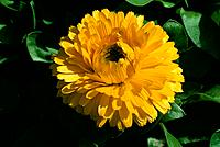 Calendula officinalis _ yellow jewel in a green casket