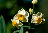 Narcissus Jonquil _ white with a bright yellow heart _ cute little group on a green background