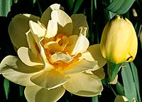 Narcissus _ pale yellow and golden amber _ a sophisticated flower with its twin bud