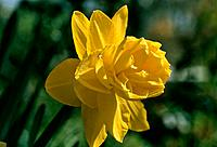 Narcissus _ yellow _ double _ blurred green background