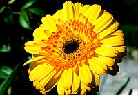 Gerbera jamesonii _ yellow _ very attractive corolla of bicolored petals _ adorned beauty _ focused on the sun