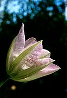 Clematis dawn _ pale pink _ veined _ graceful