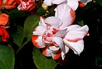 Begonia _ iridescent white and red petals _ feminine ruffles