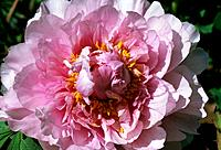 Paeonia suffruticosa_ pink _ yellow stamens emerging from feminine ruffles