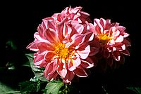 Dahlia _ pink _ lovely group _ charming