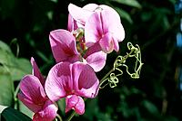 Lathyrus latifolius _ pink swet peas twining in the sun