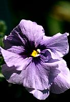 Viola x wittrockiana _purple blue _ expressive ruffled flat_face _ cute and charming