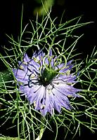 Nigella damascena _ blue _ attraction and protection _ appealing yet using defensive spurs and feathery leaves