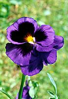 Viola x wittrockiana _ purple _ ouch I twisted my head to stay in the warm sun rays