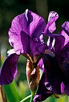 Iris rhizomatous _ purple _ sun rays playing with transparency