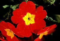 Primula _ Red with a yellow heart _ warmth from early spring onwards