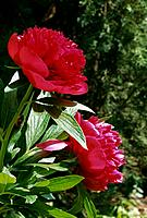 Paeonia lactiflora _ reddish_purple _ passion and fragrance
